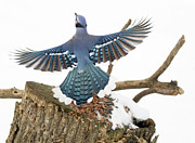 Bluejay Metal Prints - Flight Metal Print by Marty Maynard