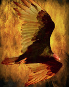 Bird In Flight Prints - Flight of a Vulture . texture . 40D8879 Print by Wingsdomain Art and Photography