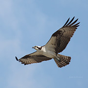 Flight Originals - Flight of an Osprey by Joseph G Holland