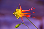 Abstract Columbine Prints - Flight Of Fancy Print by Byron Varvarigos