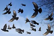 Diana Haronis - Flight of Pigeons