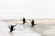 Cormorant Framed Prints - Flight of the Cormorants Framed Print by David Lade