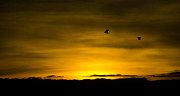 Reverence Framed Prints - Flight of the golden Framed Print by Steven Poulton