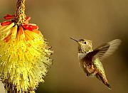 Hummer Framed Prints - Flight of the Hummer Framed Print by Mike  Dawson