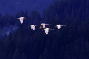 Swan In Flight Prints - Flight of the Swans Print by Sharon  Talson