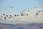 Waterfowl Prints - Flight of the Waterfowl Print by Mike  Dawson