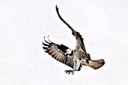 Osprey Framed Prints - Flight training Framed Print by Don Mann