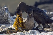 Breeding Posters - Flightless Cormorant Male And Female Poster by Bob Gibbons
