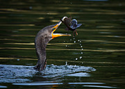 Cormorant Photos - Flippin Fish by Carl Jackson