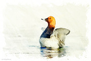 Fauna Mixed Media Metal Prints - Flipping Pochard Metal Print by Kolor Palette