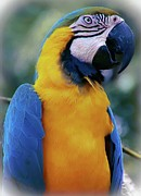Blue And Gold Macaw Posters - Flirtacious Macaw Poster by DigiArt Diaries by Vicky Browning