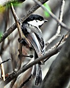 Black-capped Chickadee Greeting Cards Prints - Flitting About Print by Don Mann