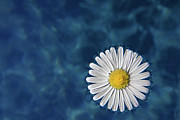 White Water Posters - Floating Daisy Poster by Andrea Mucelli