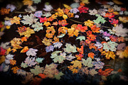 Ken Brodeur - Floating Fall Leaves...
