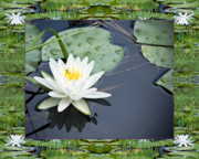 White Water Lilies Framed Prints - Floating Ivory Framed Print by Bell And Todd