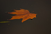 Autumn Leaf Prints - Floating Leaf Print by Dawn OConnor