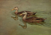 Mallards Prints - Floating On By Print by Deborah Benoit