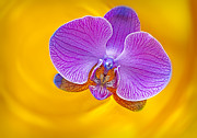 Golden Pink Orchid Photos - Floating Orchid by Susan Candelario