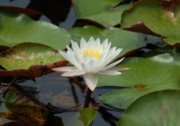 Crimson Tide Photo Prints - Floating Water Lilly Print by Michael Thomas