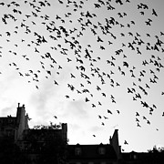 Black And White Birds Posters - Flock Of Bird Flying Poster by Miles Lau