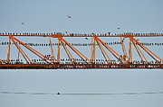 Conformity Photos - Flock of birds perching on construction crane by Sami Sarkis