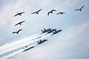 Fighters Prints - Flock of Canada Geese at Air Show Print by Oleksiy Maksymenko