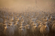 Flock Of Sheep Prints - Flock Of Domestic Sheep (ovis Aries), Naudes Neck, Eastern Cape Province, South Africa Print by Gallo Images/George Brits