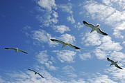 Flying Seagull Framed Prints - Flock of five Seagulls flying in the sky Framed Print by Sami Sarkis