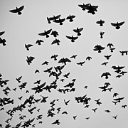 Flying Birds Prints - Flock Of Flying Pigeons Print by Photography by Ellen L. Soohoo