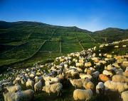Flock Of Sheep Posters - Flock Of Sheep In A Field, Maam Cross Poster by The Irish Image Collection