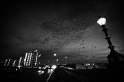 Flocks Posters - Flock Of Starlings Flying In Murmuration Over Lamp On Albert Bridge Belfast Northern Ireland Uk Poster by Joe Fox