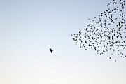 Flying Photos - Flock Of Sturnus Vulgaris Flying by FotoFalk