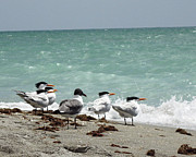 Florida Flowers Posters - Flock of Terns GP Poster by Chris Andruskiewicz
