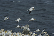 Roosting And Resting Posters - Flocks Of Northern Gannets Roost Poster by Norbert Rosing