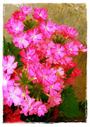 Phlox Framed Prints - Flocks of Phlox Framed Print by Judi Bagwell