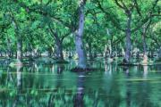Agriculture Digital Art Originals - Flooded Walnut Orchard by Mark Hendrickson