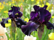 Floral Art Deep Purple Iris Flowers Irises Baslee Troutman Print by Baslee Troutman Fine Art Photography