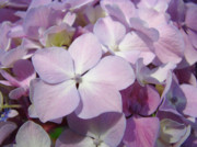 Purple Hydrangea Photos - Floral art Hydrangea Flowers Purple Lavender Baslee Troutman by Baslee Troutman Fine Art Prints
