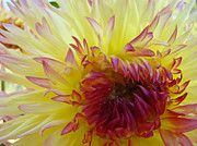 Yellow Dahlia Posters - Floral Fine Art Dahlia Flower Yellow Red Prints Baslee Troutman Poster by Baslee Troutman Fine Art Collections
