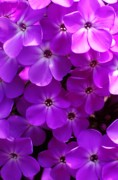 Phlox Prints - Floral Glory Print by David Lane