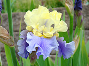 Yellow Bearded Iris Posters - Floral Iris Flowers Yellow Lavender Irises Poster by Baslee Troutman Fine Art Prints