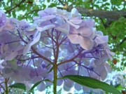 Blue Flowers Photos - Floral Landscape Blue Hydrangea Flowers Baslee Troutman by Baslee Troutman Fine Art Prints