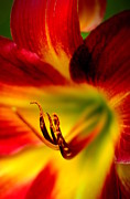 Day Lilly Prints - Floral Macro of a Blossom Print by Floyd Menezes