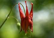 Wild Red Columbine Art - Floral Royalty  by Neal  Eslinger