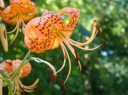 Lilies Art - Floral Tiger Lily Flower art print Orange Lilies Baslee Troutman by Baslee Troutman Fine Art Photography