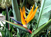 Bird Of Paradise Flower Digital Art - Florida Bird of Paradise by Mindy Newman