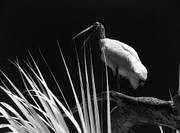 Jeff Holbrook Metal Prints - Florida Bird Squawking Metal Print by Jeff Holbrook