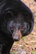 Black Bear Photos - Florida Black Bear by Bruce J Robinson