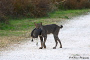 Polk County Florida Photos - Florida Bobcat catches an evening snack by Barbara Bowen