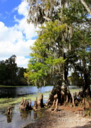 Cypress Knees Photos - Florida Landscape - Lettuce Lake by Carol Groenen
